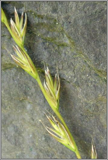 Irish Grasses - Lolium x boucheanum
