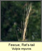 fescue,rats-tail