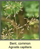 bent,common