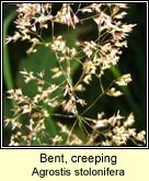 bent,creeping