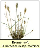 brome,soft ssp thominei