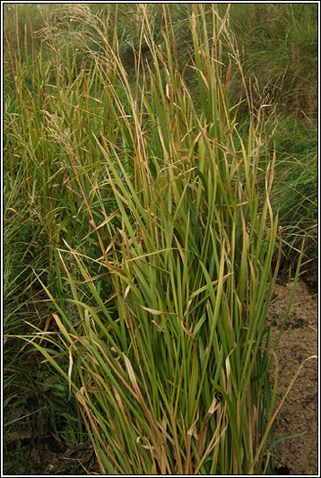 Green Canary Irish Grasses - Reed S...