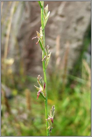 Irish Grasses - Perennial Rye-grass