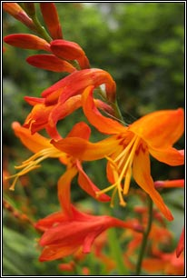 Irish Wildflowers Montbretia