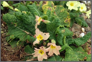 Irish wildflowers primrose long stalks drooping yellow flowers frequent central ireland rare in ne and sw mightylinksfo Images
