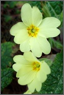 Irish wildflowers primrose long stalks drooping yellow flowers frequent central ireland rare in ne and sw mightylinksfo