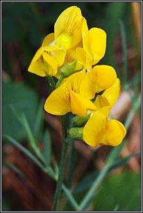 Irish wildflowers meadow vetchling mightylinksfo