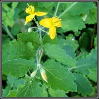 Greater Celandine, Chelodium majus