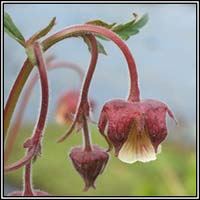 Water Avens, Geum rivale