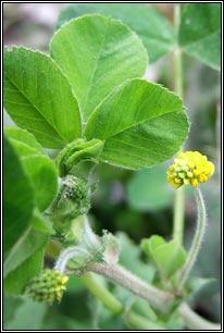 Irish Wildflowers - Black Medick