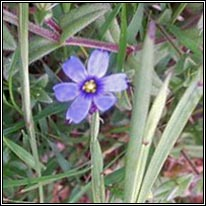 American Blue-eyed-grass, Sisyrinchium montanum