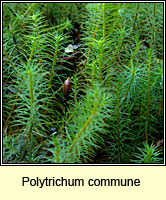 Polytrichum commune, Common Haircup Moss