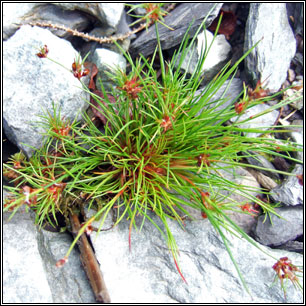 Irish Rushes and Sedges - Bulbous Rush