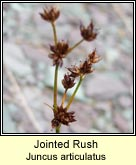 jointed rush