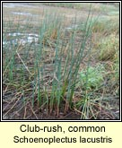 club-rush,common