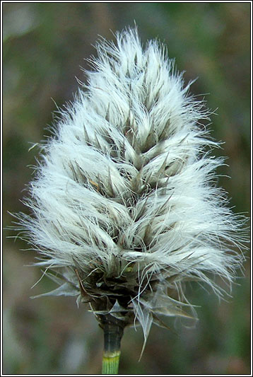 Hares-tail Cottongrass, Eriophorum vaginatum