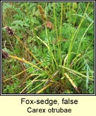 fox-sedge,false