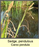 sedge,pendulous