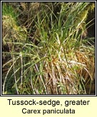 tussock sedge,greater