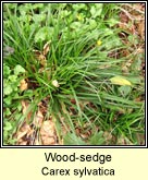 wood-sedge