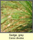 sedge,grey