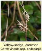 yellow-sedge,common