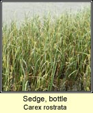 sedge,bottle