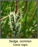sedge,common