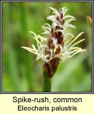 spike-rush,common