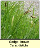 sedge,brown