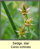 sedge,star
