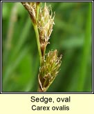 sedge,oval