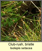 club-rush,bristle