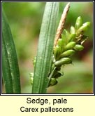 sedge,pale