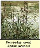 fen-sedge,great