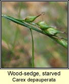 wood-sedge, starved