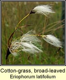 Cotton-grass, broad-leaved