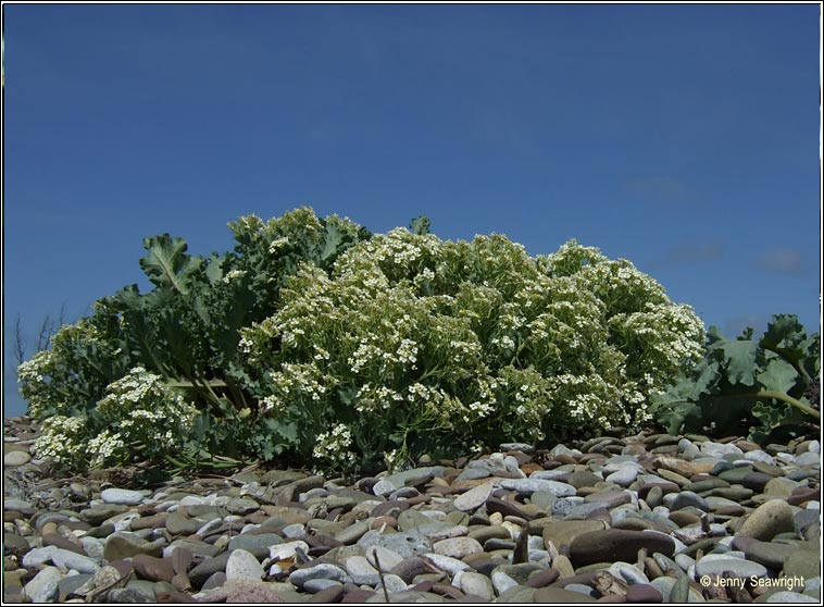 sea-kale (Praiseach thr�)