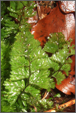 Tunbridge Filmy-fern