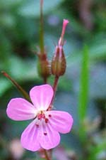 herb robert (ruith�al r�)