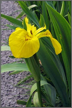 yellow flag iris (feileastram)