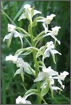 orchid,greater butterfly (magairl�n m�r an fh�ileac�in)