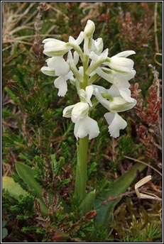 orchid,green-winged (magairl�n f�itheach)
