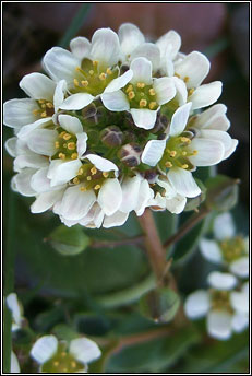 scurvygrass,common (biolar tr�)