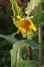 smooth sow-thistle (bleacht�n m�n)
