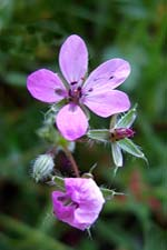 common storksbill (creagach)