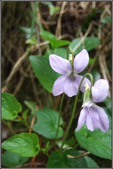 violet,pale dog-violet (sailchuach liath)