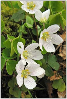 wood-sorrel (seams�g)