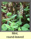 mint,round-leaved (mism�n cumhra)