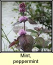 mint,peppermint (lus an phiobair)